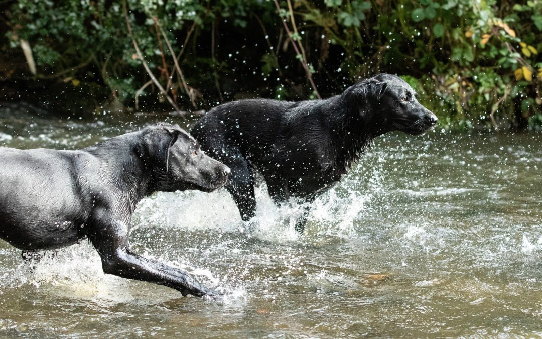 10 Interesting facts about Labradors